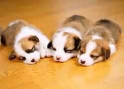 子犬のワクチネーションについて